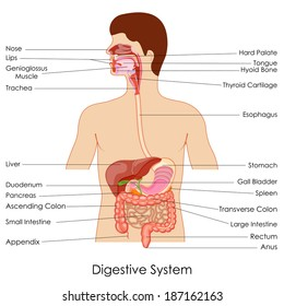 Human digestive system images stock photos vectors shutterstock vector illustration of diagram of digestive system ccuart Images