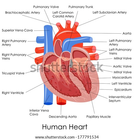 Vector Illustration Diagram Human Heart Anatomy Stock Vector ...