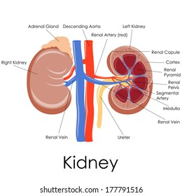 Kidney anatomy images stock photos vectors shutterstock vector illustration of diagram of human kidney anatomy ccuart Choice Image