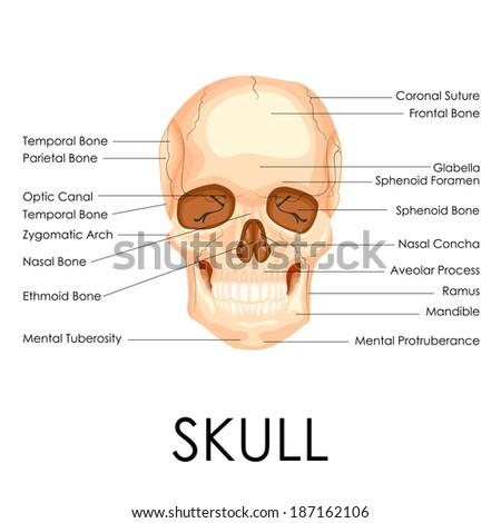 Vector Illustration Diagram Human Skull Stock Vector Royalty Free