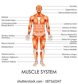 vector illustration of diagram of Muscular System