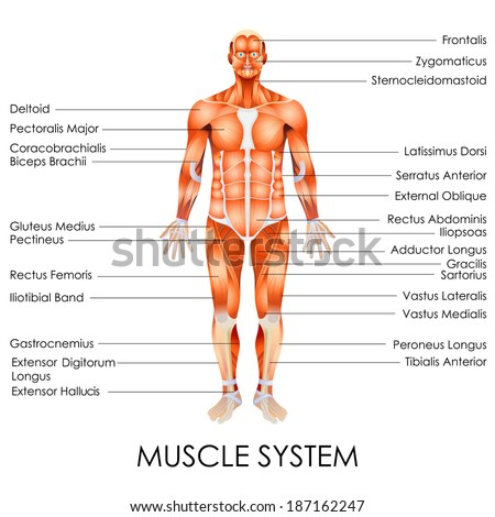 Vector Illustration Diagram Muscular System Stock Vector Royalty