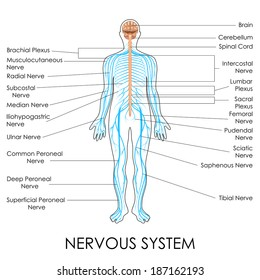 Nervous system images stock photos vectors shutterstock vector illustration of diagram of nervous system ccuart Choice Image