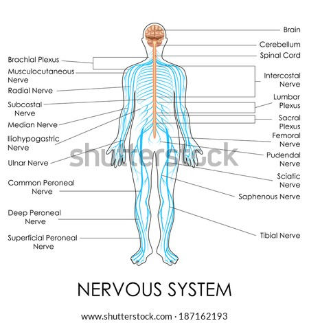 Vector Illustration Diagram Nervous System Stock Vector Royalty