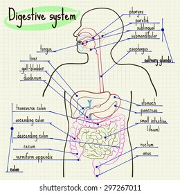vector illustration digestive system of man