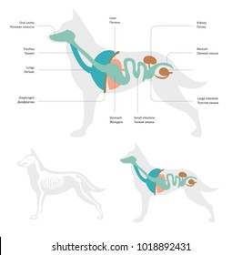 Vector illustration of dog anatomy