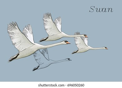 Vector illustration of drawing Flying Swans. Hand drawn, doodle graphic design with birds. Isolated object on blue backdrop