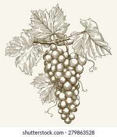 vector illustration of engraving grapes on the branch on grey background