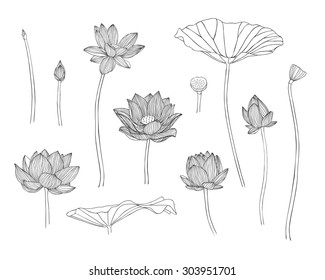 Vector illustration. Engraving hand drawn lotus flowers
