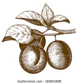 vector illustration of engraving plum on the branch on white background