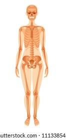 Vector illustration eps10, isolated white background. Realistic human skeleton symbol, 3d female figure with skul, bones, rib. Cartoon didactic health poster template. Flat banner, medical sign