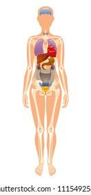 Vector illustration eps10 isolated white background. Realistic human internal organ skeleton symbol, 3d female figure liver brains heart bones rib. Health body poster. Flat medical anatomy infographic