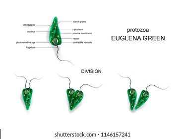vector illustration of a Euglena green. protozoa