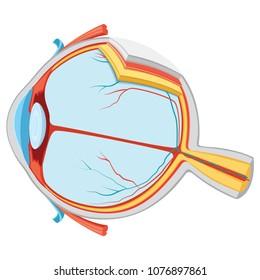 Vector Illustration Of Eye Anatomy