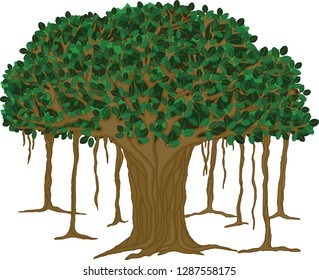Vector illustration of a Fig tree native to Asia.