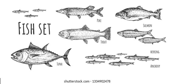 Vector illustration of fish set. Tuna, anchovy, pike, herring, trout, salmon. Vintage hand drawn style.