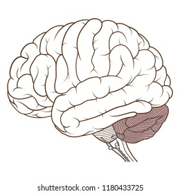 Vector Illustration ,Flat coloured Cerebellum of Human brain anatomy side view on white background