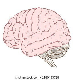 Vector Illustration ,Flat coloured Cerebrum of Human brain anatomy side view on white background