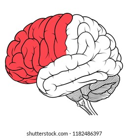 Vector Illustration ,Flat Frontal lobe of human brain anatomy side view flat of human brain anatomy Side view on white background