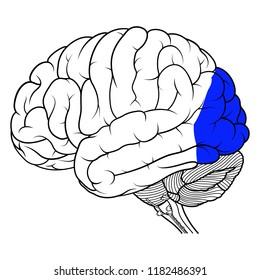 Vector Illustration ,Flat Occipital lobe of human brain anatomy Side view on white background