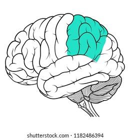 Vector Illustration ,Flat Parietal lobe of human brain anatomy Side view on white background