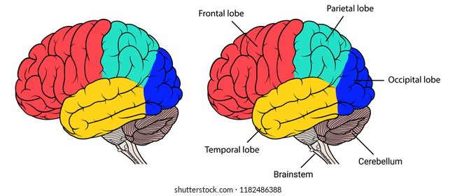 Vector Illustration ,Flat Sections of human brain anatomy Side view on white background