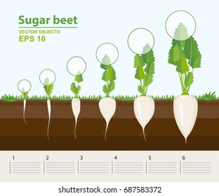 Vector illustration in flat style. Phases and stage of growth, development and productivity of sugar beet in the garden. How grows beets step by step. Distance between plants. Infographic concept
