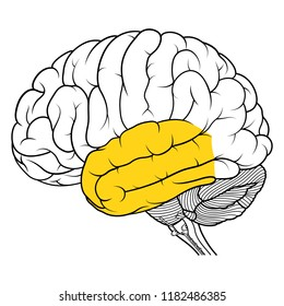 Vector Illustration ,Flat Temporal lobe of human brain anatomy Side view on white background