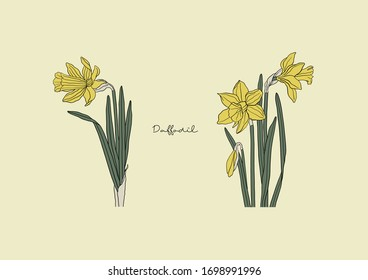 Vector Illustration of Flowers, Daffodil