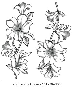 Vector illustration of flowers and leaves.Very detailed lily flowers in sketch style.Elegant floral decoration  for design.Hand drawn and separated in each group. Isolated on white background