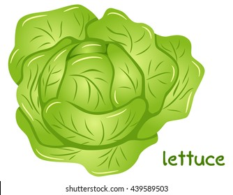 vector illustration of a fresh lettuce head