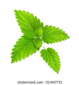 Vector illustration. Fresh mint isolated on a white background. EPS10.