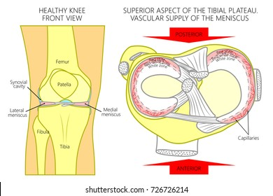Vector illustration. Front view of a healthy human knee, anatomy of a proximal surface of tibial plateau with soft tissues and blood supply of meniscus. For advertising, medical publications. EPS 8