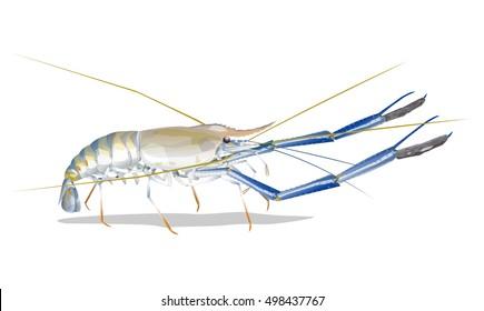 Vector Illustration: Giant freshwater prawn ( Giant malaysian,Macrobrachium rosenbergii) Fresh live River shrimp isolated on white background.