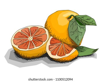 Vector illustration graphic arts sketch of drawing fruit grapefruits with half.
