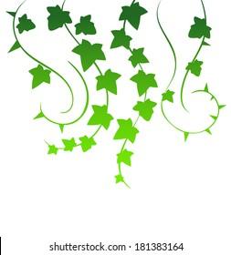 Vector illustration of Green ivy