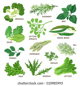 Vector illustration of a green, leafy green vegetables, kinds of salads. Made in a realistic style
