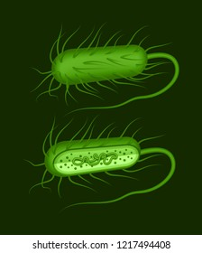 Vector illustration of green rod-shaped bacillus bacteria with fimbriae and flagellums isolated on background. Cell structure of a gram positive bacterium whole and in section