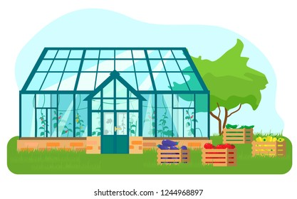 Vector illustration of greenhouse with different plants inside in flat style. Glass house with tomatoes and cucumber plants. Wooden boxes with vegetables.