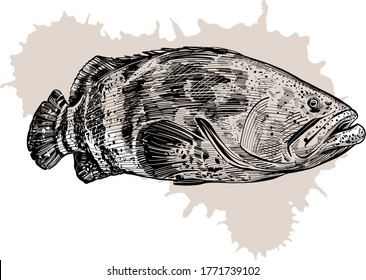 the vector illustration the grouper fish