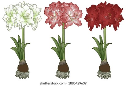 Vector illustration. Hand drawing amaryllis. Amaryllis or hippeastrum with bulb and roots. Botanical illustration.  Red, white and pink flowers.