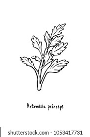 Vector Illustration. Hand drawing Artemisia princeps (mugwort). Line art with white background.