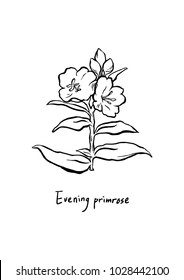 Vector Illustration. Hand drawing Evening primrose flowers. Line art with white background. Oenothera odorata.