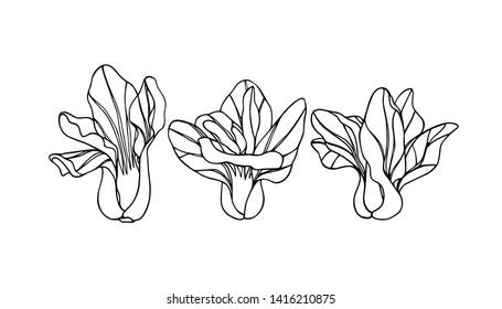 Vector illustration of hand drawn Asian green Shanghai bok choy. Ink drawing, beautiful vegetarian design elements.
