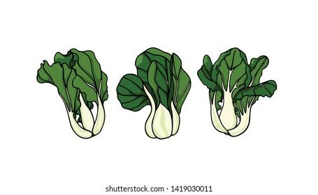 Vector illustration of hand drawn Asian greens Dwarf bok choy. Ink drawing, beautiful vegetarian design elements.