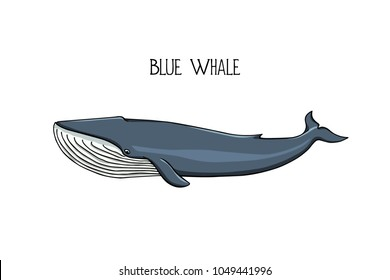 Vector illustration of hand drawn blue whale. Beautiful ink drawing, heavy contour. Perfect design elements, marine animal illustration
