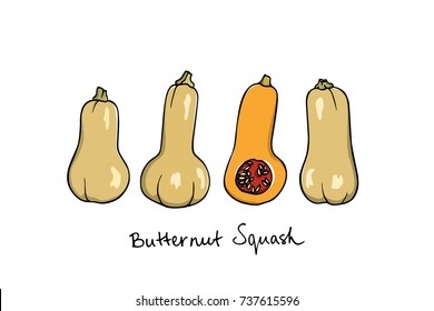 Vector illustration of hand drawn Butternut squash. Ink drawing, beautiful vegetarian design elements.