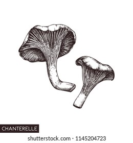Vector illustration of hand drawn Chanterelle mushrooms. Sketched style organic product  isolated on white background. Healthy food drawing. Forast plants collection.