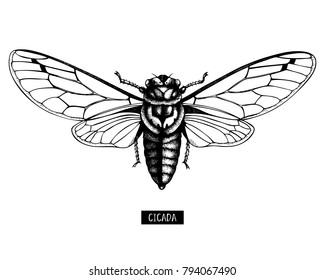 Vector illustration of hand drawn Cicada sketch. Vintage engraved locust illustration isolated on white. Entomological, insects collection
