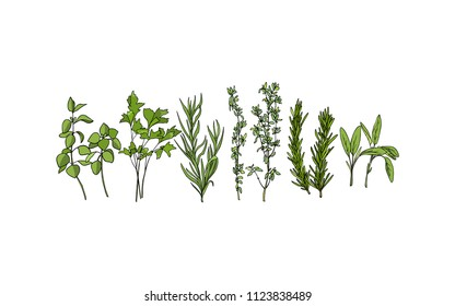 Vector illustration of hand drawn culinary herbs. Beautiful food design elements, ink drawing.